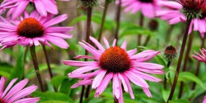 فوائد وأضرار عشبة الإخناسيا