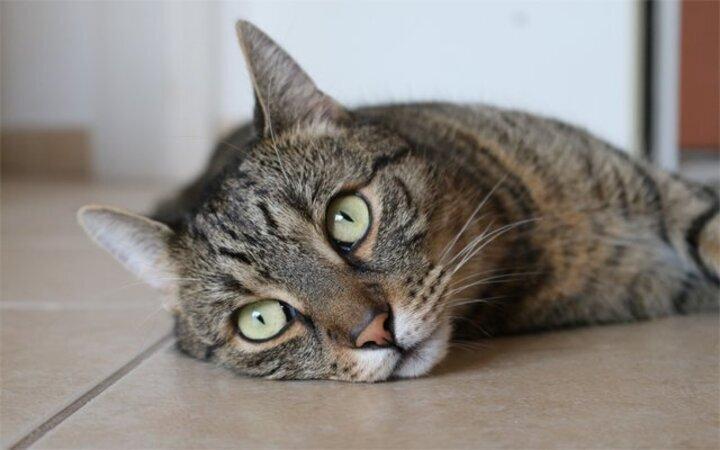 كيفية الوقاية من امراض القطط الشيرازية