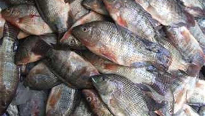 توقف عن تناوله فورا.. السمك البلطي لا يصلح للاستخدام